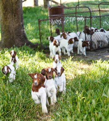 Boer Goats Australia Victoria Premium Myrrhee Goats